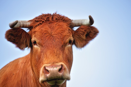 red heifer: Portrait of a young red bull