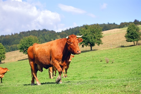 Herd of red cows on green meadow in mountains photo