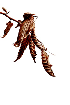 despondency: Withered leaf on white, autumnal background
