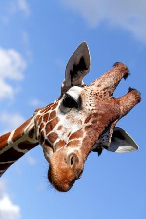 Portret van een mooie giraffe Stockfoto