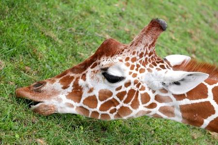 giraffa camelopardalis: Portrait of a nice giraffe