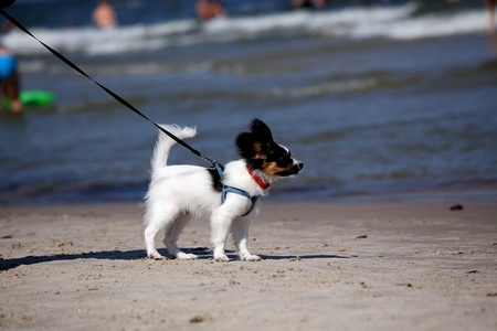 beach butterfly: Butterfly dog, papillon for a walk on the beach Stock Photo