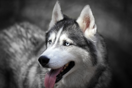 black ancestry: Portrait of a beautiful siberian husky in forest, on blur  background