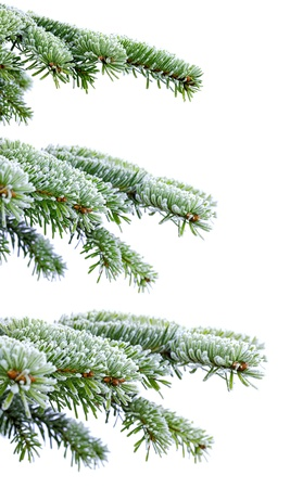 rime frost: Christmas evergreen spruce tree with frost on white Stock Photo
