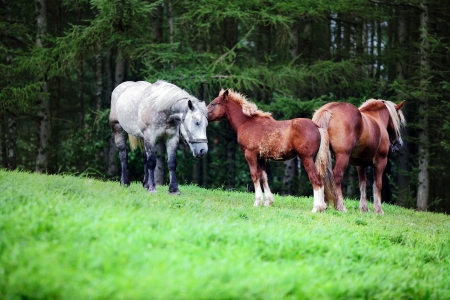 foretop: Happy horses family on green grassland on the forest background