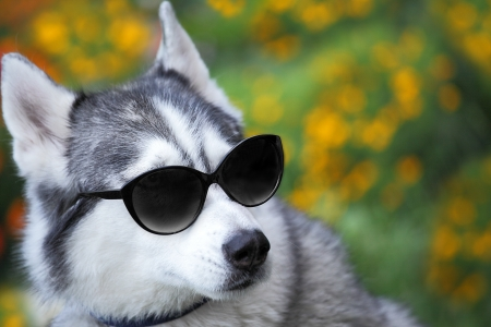 Sunny summer meadow and husky with sunglasses looks like a teacher photo