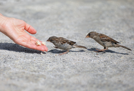 feeds: Good nobody man helps and feeds the tiny sparrow, environmental protection Stock Photo