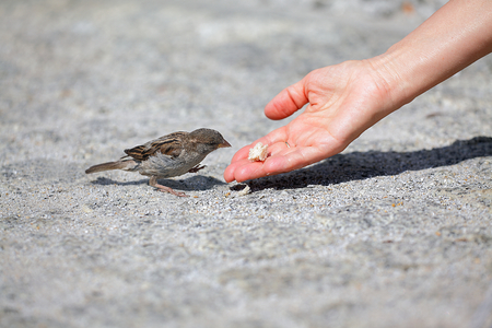 Good man helps and feeds the tiny  sparrow, environmental protection