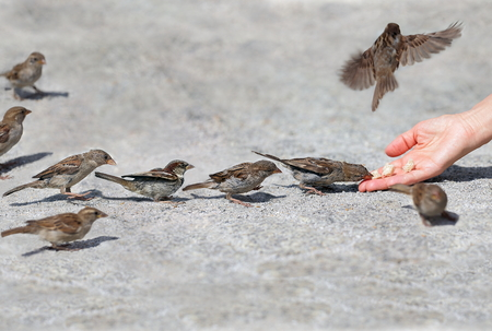 Good man helps and feeds the tiny one by one in sequence sparrows, environmental protection