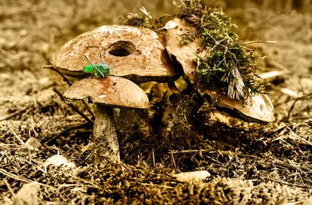 Autumn harvest of mushrooms, season, and background