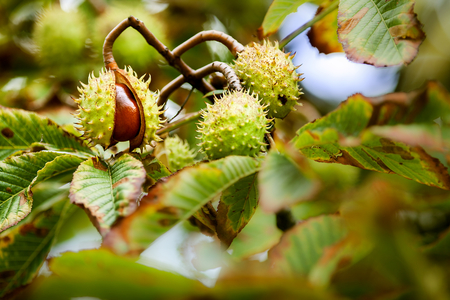 bough: Simply autumn time with chestnut fruit, season, colors and background Stock Photo