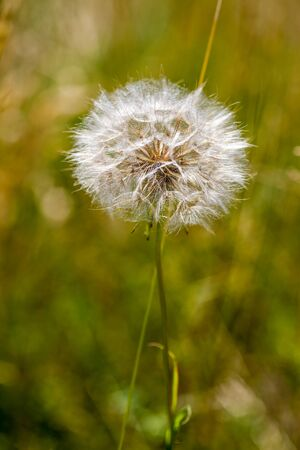 Autumnal background with a mature dandelion,