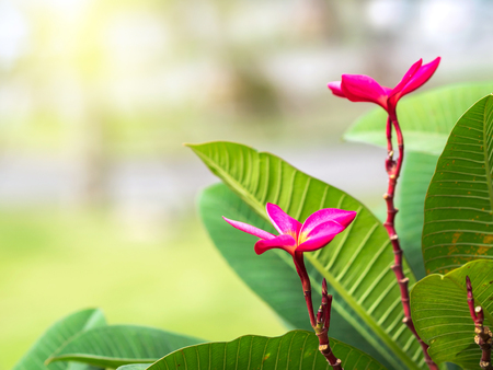 Plumeria flowers, dominant colors at the top of the tree