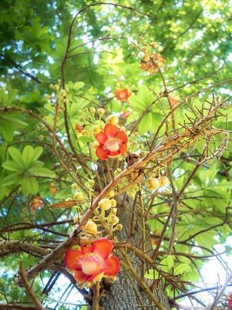 View of sal flower on tree with sunlight. (sakhua or shala : Dipterocarpaceae) northern Indian tree.
