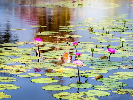 Beautiful Pink Lotus water lily or lotus flower in the pond, lotus flower, water lily