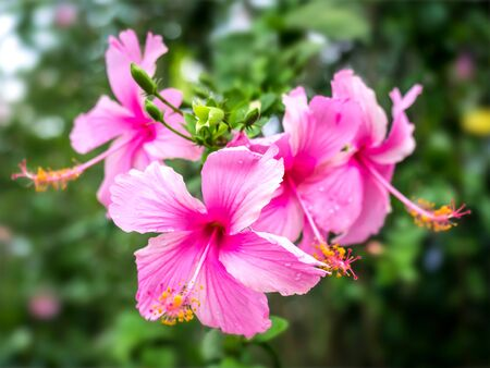 Pink hibiscus flowers from my tropical garden