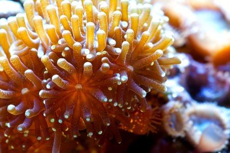 actinia: Vive coral Euphyllia bajo el agua