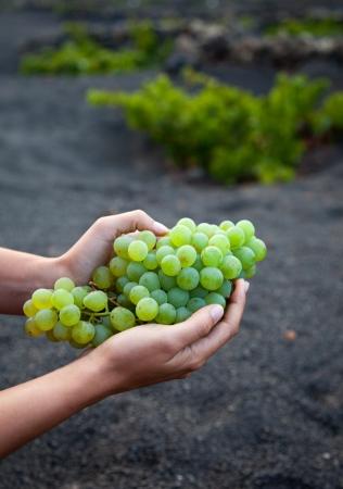 lanzarote: Freshly harvested grapes in Lanzarote