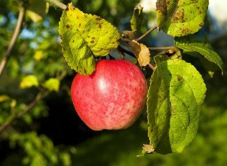Red single apple hanging on a tree branch outdoors