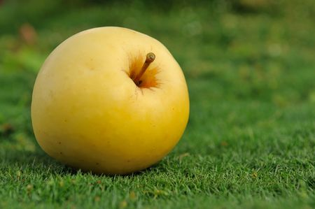 more mature: Single mature yellow apple lying on green grass outdoors. Find more in my portfolio