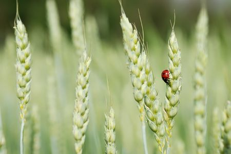 rye and ladybird on one ear outdoor photo