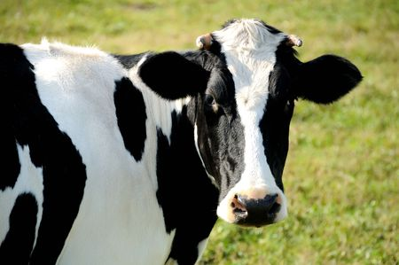 stock breeding: close-up portrait of horned cow with black and white spots over green grass pasture