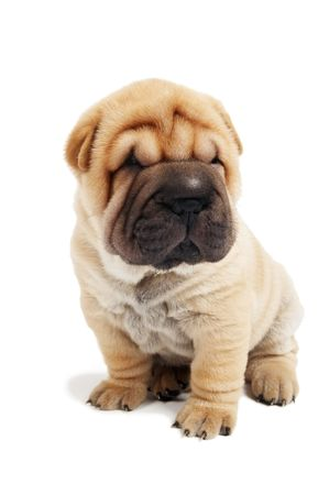 small sharpei puppy in sitting position isolated on white photo
