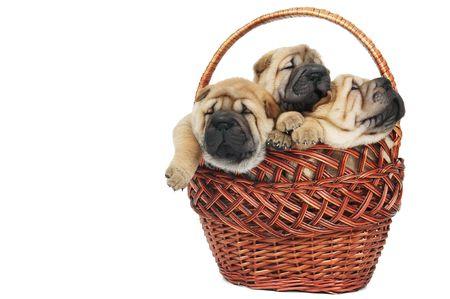 three little purebred sharpei puppy dog in basket photo