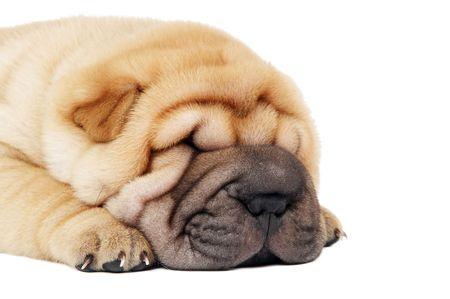 closeup muzzle of sleeping puredred sharpei puppy dog photo