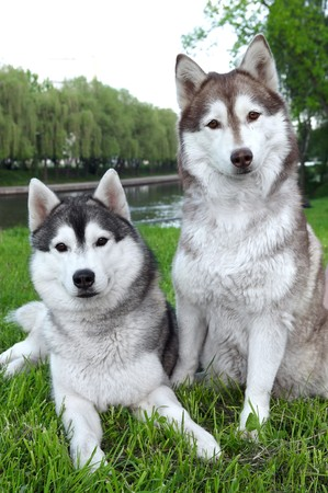 Closeup pair of purebred playful husky dogs outdoors on green grass photo