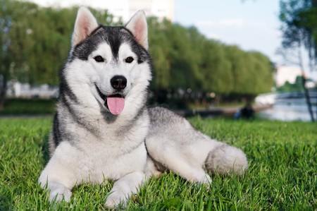 majestic portrait of grey black purebread husky dog lying on green grass photo