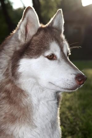 Primer perro de husky marrón pura raza al aire libre en luz trasera  Foto de archivo - 7398007