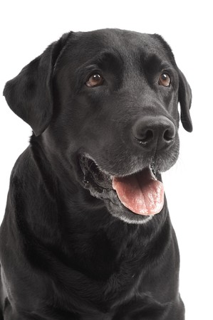 face guard: close-up portrait of black Retriever Labrador dog in studio isolated