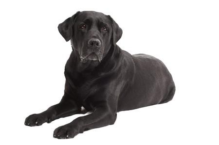 perro labrador: Perro de Labrador Retriever de una sombra negra situada en estudio aislado