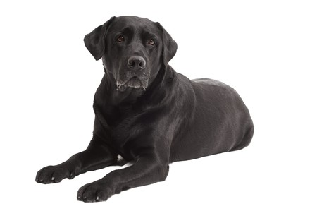 black labrador: Retriever Labrador dog of a black shade lying in studio isolated