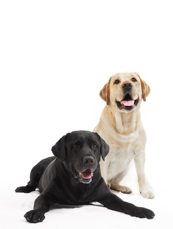 adult offspring: two Retriever Labrador black and ivory shade dogs lying in studio isloated
