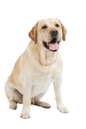 yellow yellow lab: Retriever Labrador dog of a yellow ivory creme shade in studio isolated Stock Photo