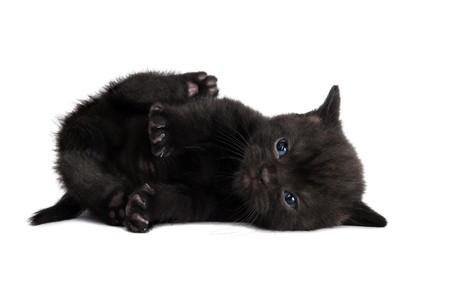 One lying black british shorthair kitten cat isolated  photo