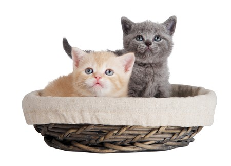 Two little british shorthair kittens cat isolated sitting in basket photo