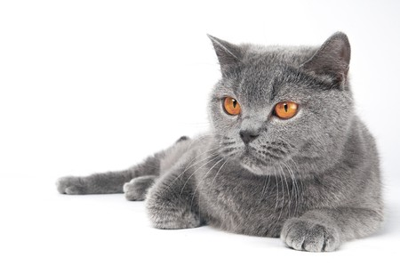 blue grey coat: British shorthair grey cat with big wide open orange eyes isolated