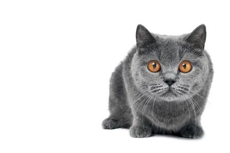 British shorthair grey cat with big wide open orange eyes isolated photo