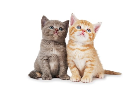 Two little sitting british shorthair kittens cat isolated  photo