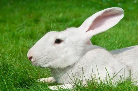 grassy plot: One white rabbit bunny on green grassy plot Stock Photo
