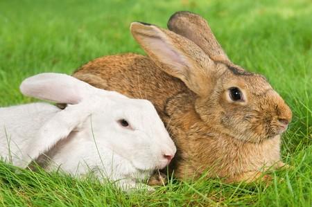 grassy plot: bunny de conejos luz de color marr�n y blanco en parcela de c�sped verde