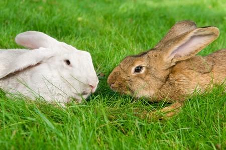 grassy plot: light brown and white rabbits bunny on green grassy plot