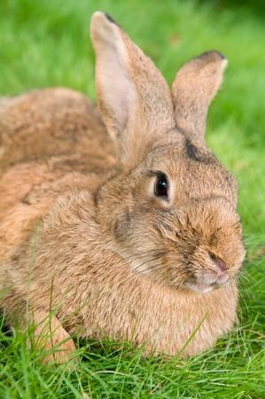 grassy plot: light brown rabbit bunny with long ears on green grassy plot