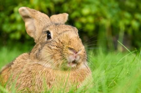 grassy plot: Autorretrato, retrato de un conejo de conejo marr�n en parcela de c�sped verde