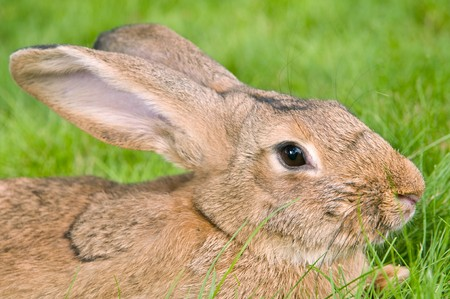 grassy plot: bunny conejo marr�n ligero con orejas largas en parcela de c�sped verde