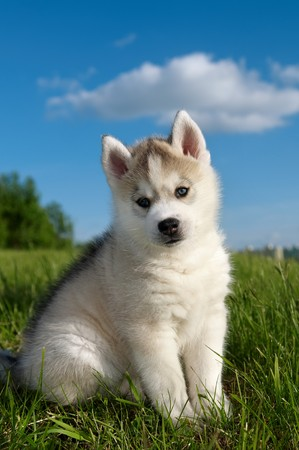 One Little cute puppy of Siberian husky dog outdoors Stock Photo
