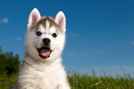 One Little cute puppy of Siberian husky dog outdoors Stock Photo - 7565329